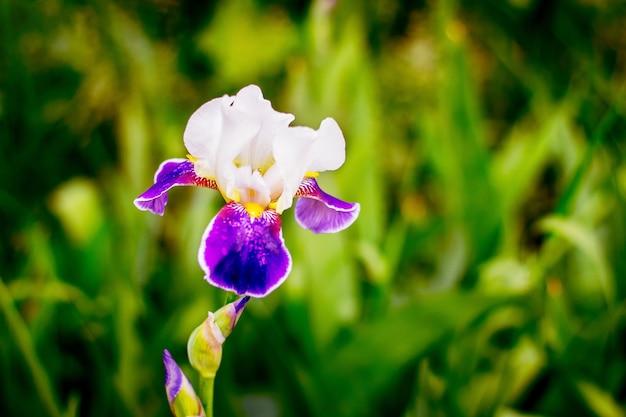 濃い緑色の背景に白と紫の花びらを持つアイリス_