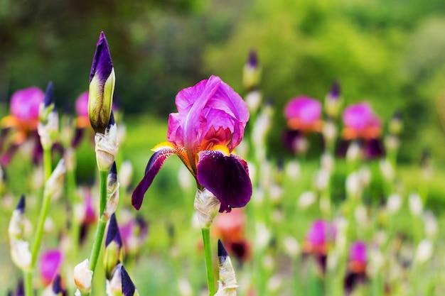 紫色の花びらを持つアイリス