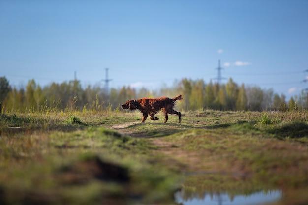 Ирландский красный сеттер собака бежит по мокрому полю и указывает птицу во время охоты в солнечный осенний день