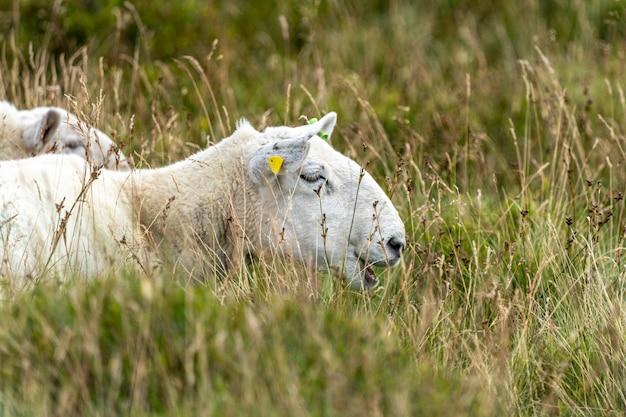 Irish sheep grazing.