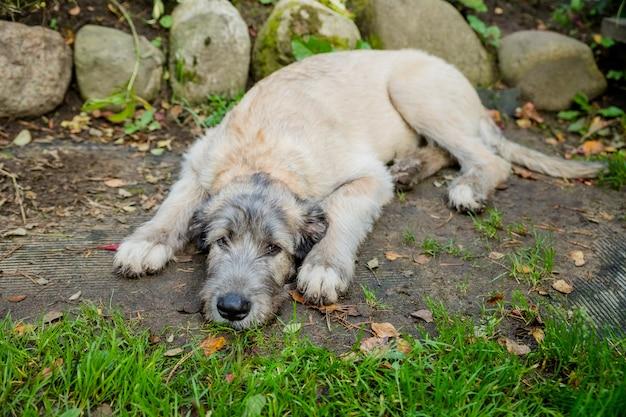 Ирландский волкодав лежит на зеленой траве портрет собаки породы ирландский волкодав в летней природе ...