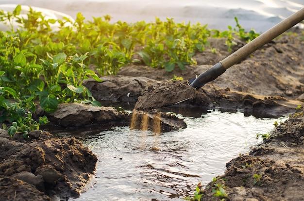 灌漑と畑での若いジャガイモの栽培
