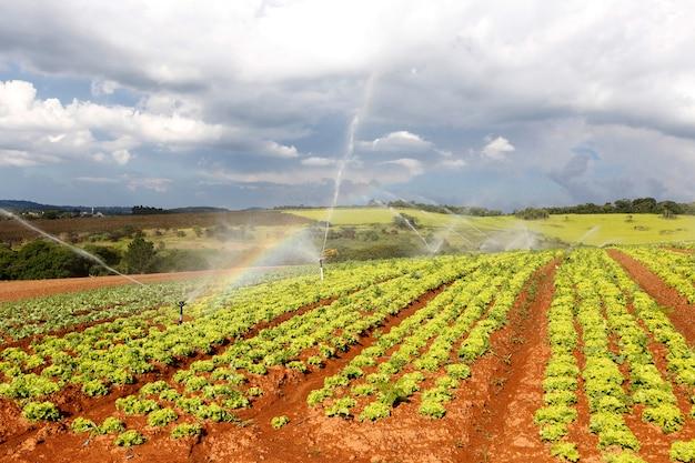 レタス農園での灌漑