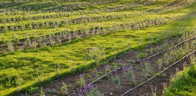 ラベンダー畑の灌漑システム、若いラベンダー植物の水やり、バナー、クリミア、ロシア。