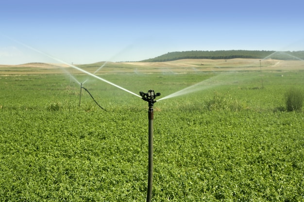 Irrigation vegetables field with sprinkler