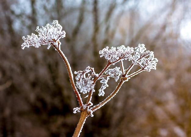 木の背景に乾いた植物の霜の芽で覆われています_