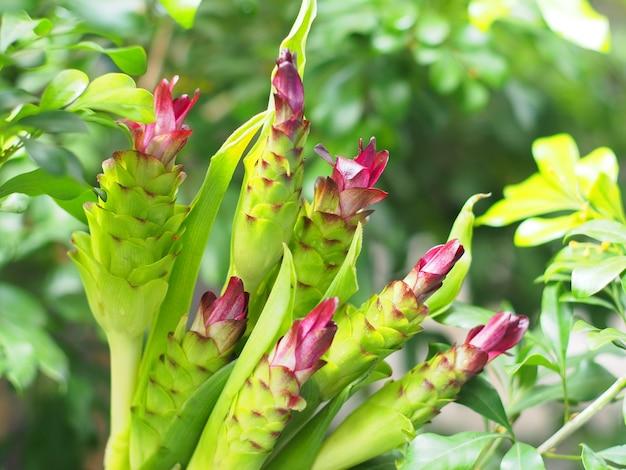 Так называется цветок крачева или curcuma aeruqinosa roxb.