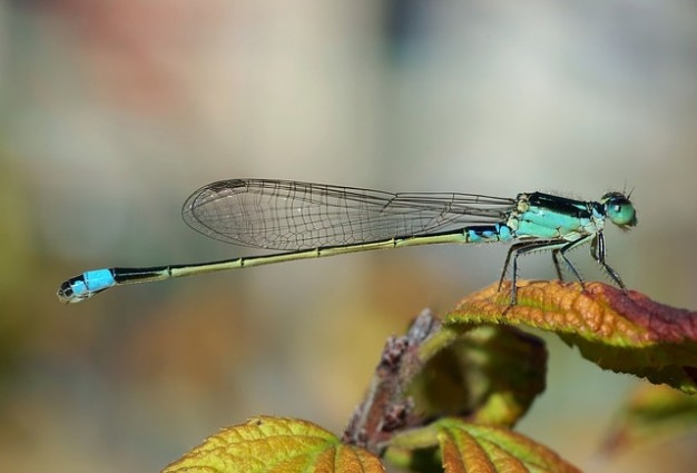 Ischnura senegalensis senegal pechlibelle dragonfly