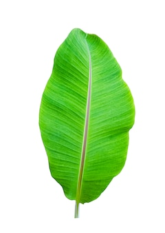 Isolate of banana leaf on white
