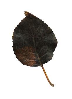 Isolated  black autumn leave