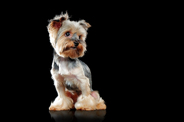 Isolated on black yorkie dog looking to the side