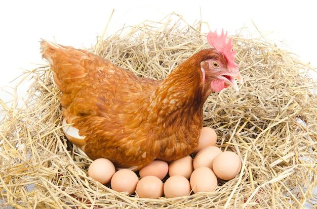 스튜디오에서 계란 격리 된 갈색 암 탉