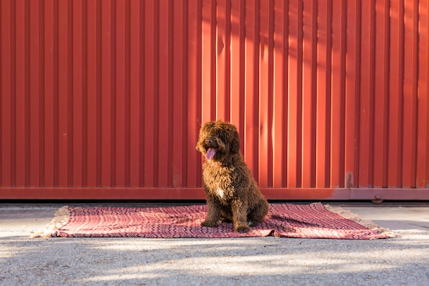 Isolated brown spanish water dog over red background.