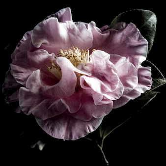 Isolated closeup shot of a beautiful pink evergreen rose on black background