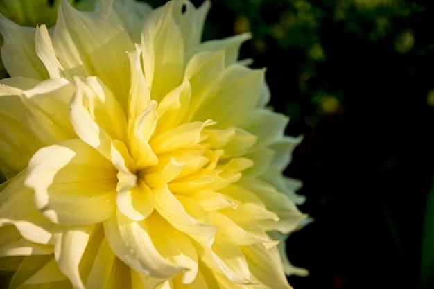 緑の自然に黄色のダリアisolated.copyspace.autumn黄色の花ダリア。幾何学模様。母の日カード