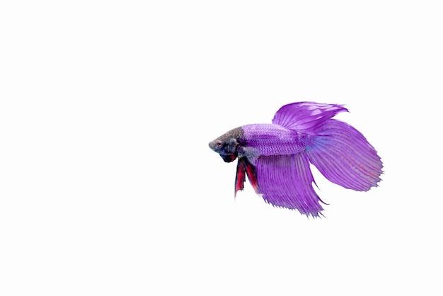 고립 된 싸움 물고기