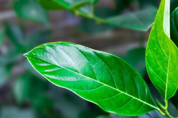Isolated green jackfruit leaf on a branch close up in the garden