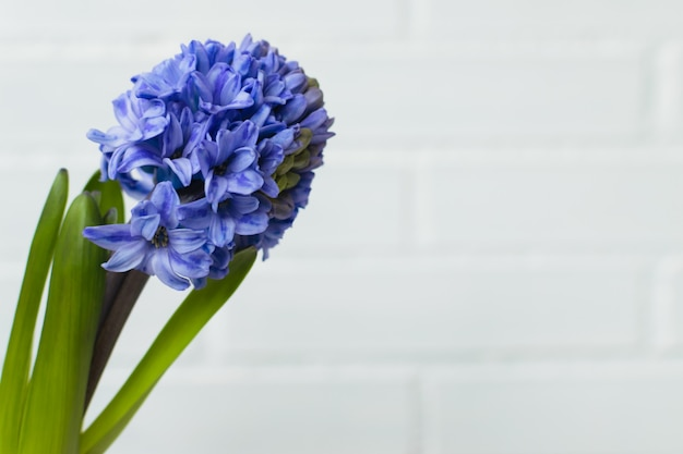 Isolated hyacinth flower on a white brick background with space.