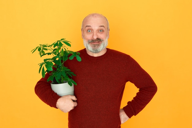Isolated image of funny emotional bald bearded male pensioner wearing knitted sweater posing against yellow background holding houseplant with green leaves, taking care of vegetation at home