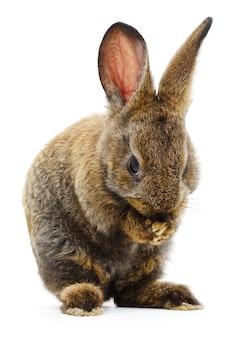 茶色のウサギの孤立した画像