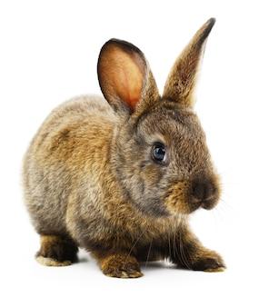 茶色のウサギの孤立した画像。