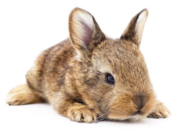 Изолированное изображение коричневого кролика кролика