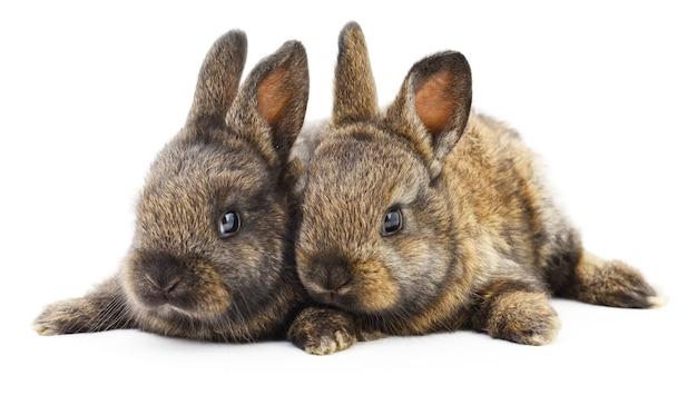 Изолированное изображение двух кроликов кролика