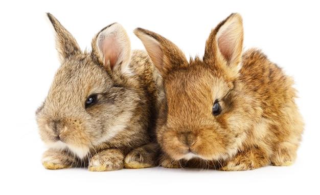2匹のウサギの孤立した画像。
