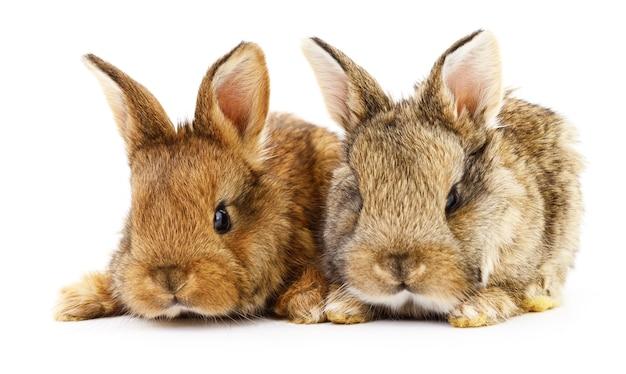 Изолированное изображение двух кроликов кролика.