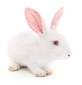 Изолированное изображение белого кролика кролика.