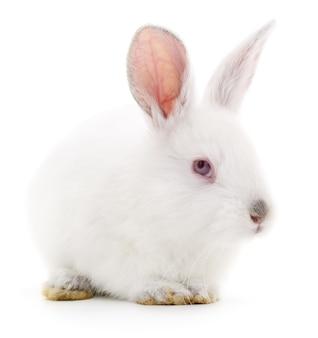Изолированное изображение белого кролика кролика