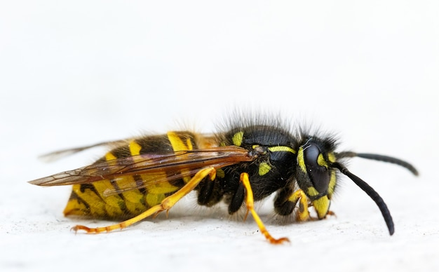 Isolated macro shot of a paper wasp on a white
