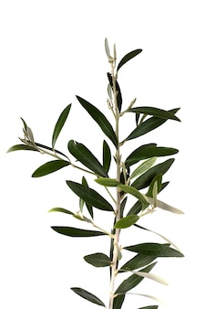 Isolated olive tree branch