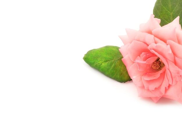 孤立したピンクのバラ