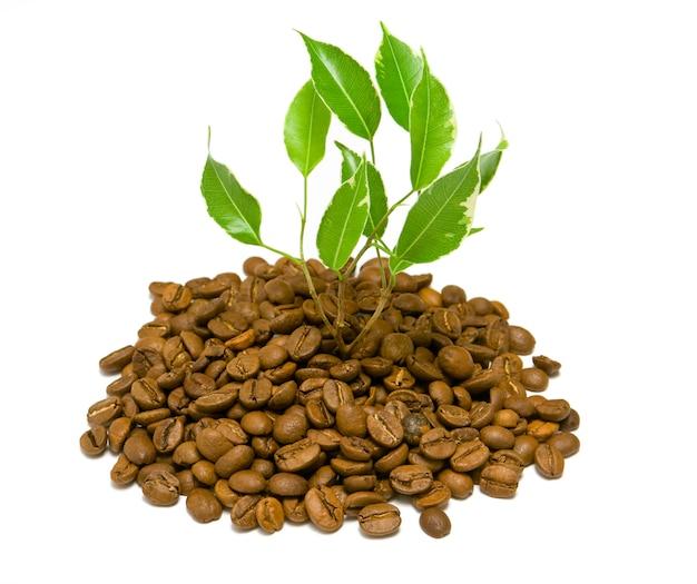 コーヒー豆の隔離された植物
