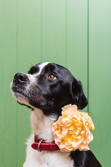 Isolated portrait of a beautiful black and white dog wearing a flower in studio with green wooden background