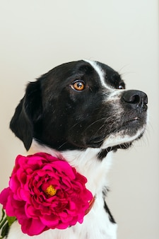 Isolated portrait of a beautiful black and white dog wearing a pink flower in studio with white background