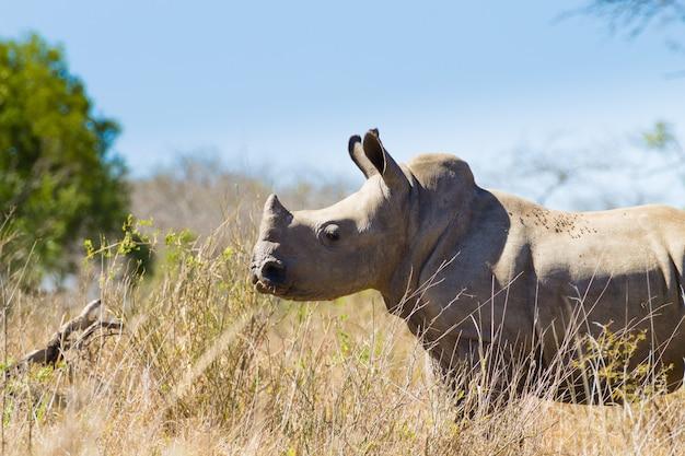 Изолированный щенок носорога из парка хлухлуве имфолози