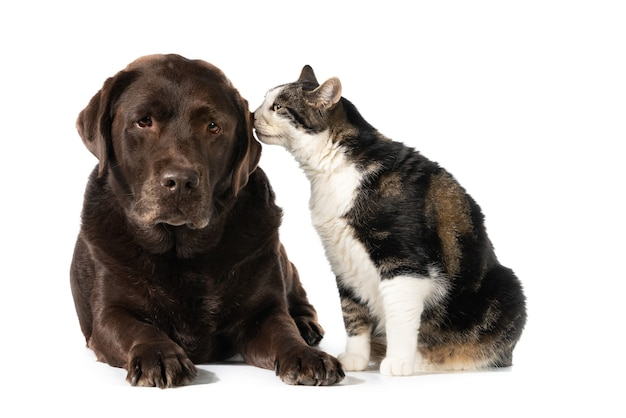 Isolated shot of a calico cat touching a chocolate labrador retriever dog with its nose