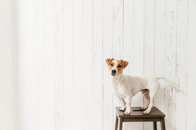 Isolated shot of cute jack russell terrier dog stands on chair, looks directly