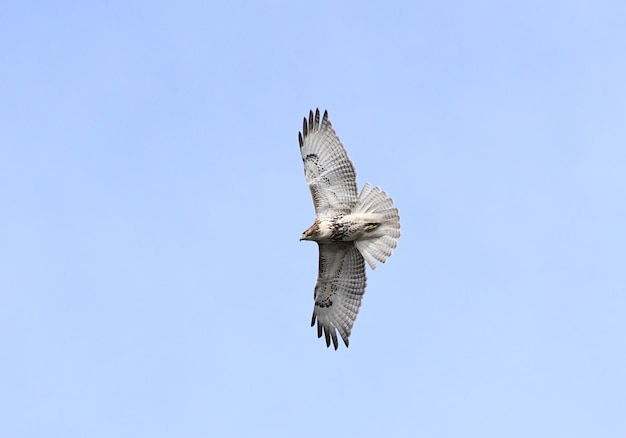 Isolated shot of the flying hawk on a blue sky