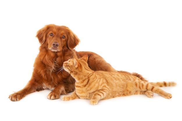 Colpo isolato del gatto zenzero che guarda il cane retriever che guarda la telecamera su una superficie bianca