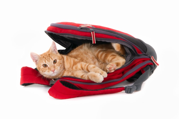 Isolated shot of a ginger cat lying in a red backpack looking directly in front of white background