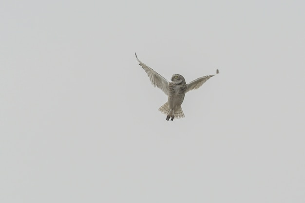 Isolated shot of an owl maneuvring