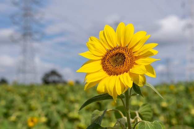 Isolated sunflower in the field, with defocused energy towers in the background
