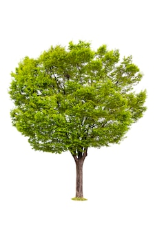 Isolated of tree for ecology decoration