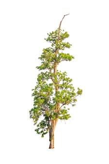 白い背景の上の孤立した木