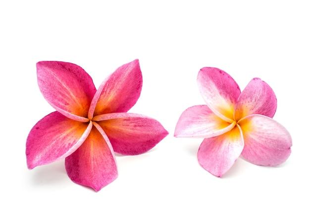Изолированные тропические цветы красная плюмерия на белом фоне