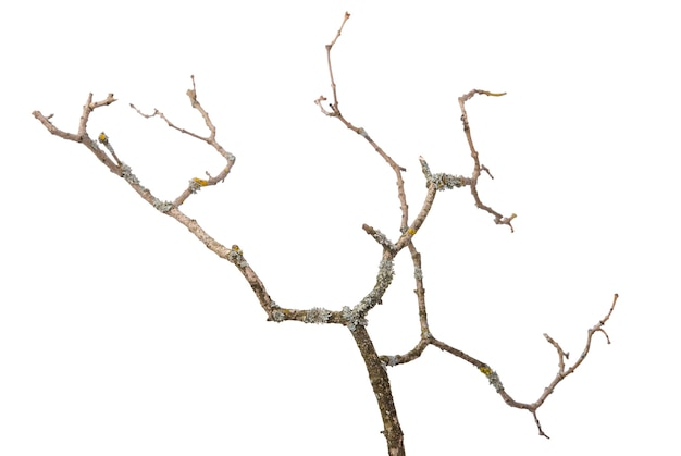 Isolated on a white background, widespread shoots on a dry branch