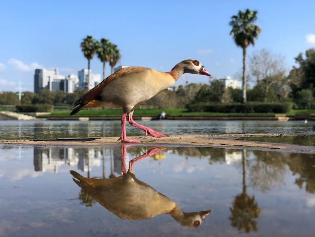Israel, tel aviv, duck in yarkon park